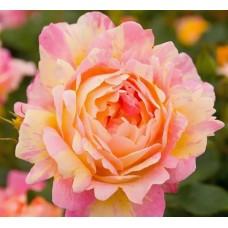 Rose des Cisterciens (Роз де Цистерсьен)