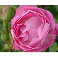 Morsdag Pink (Морсдаг Пинк), полиантовые