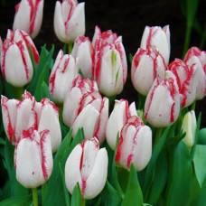 Тюльпан триумф Beautytrend