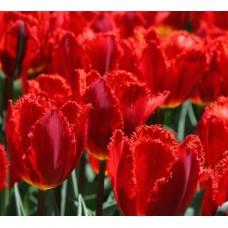 Тюльпан бахромчатый Crystal Beauty