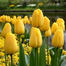 Тюльпан триумф Golden Ticket