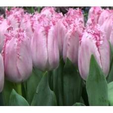 Тюльпан бахромчатый Santander