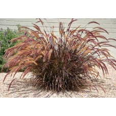 Пениссетум щетинистый Рубрум (pennisetum setaceum Rubrum)